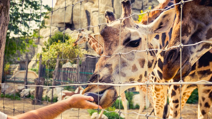 Giraffe_Eating_Out_of_a_Hand_494939312_RFIS_0219
