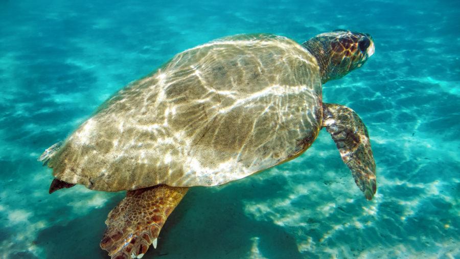 ZTH_Loggerhead_sea_turtle_in_Zakynthos_121548152_Getty_RGB-136-DPI-For-Web