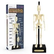 Anatomical Skeleton (10644)