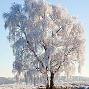 Ambiente Napkin Frozen Tree (33312130)