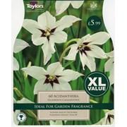 Taylors Gladiolus Calliantus (XL566)