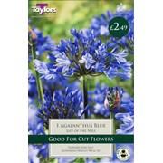 Taylors Agapanthus Blue (XL562)