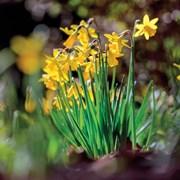 Blank Card Daffodils (SM14163)