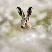 Blank Card Twt Brown Hare (WT91385)