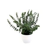 Eucalyptus In White Pot 36cm (EU0120)