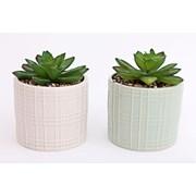 Succulent In Ceramic Pot 14cm (PS0043)