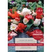 Taylors Begonia Odoarta Mothers Day (XL519)