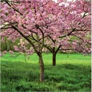 Blank Card Cherry Blossom (SM14218)
