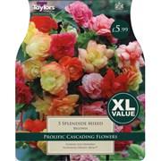 Taylors Begonia Splendide Mixed (XL524)