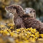Blank Card Otters (WT91329)