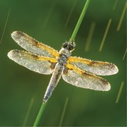 Blank Card Four Spotted Chaser (WT91388)
