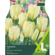 Taylors Tulip Purissima 20s (XL430)