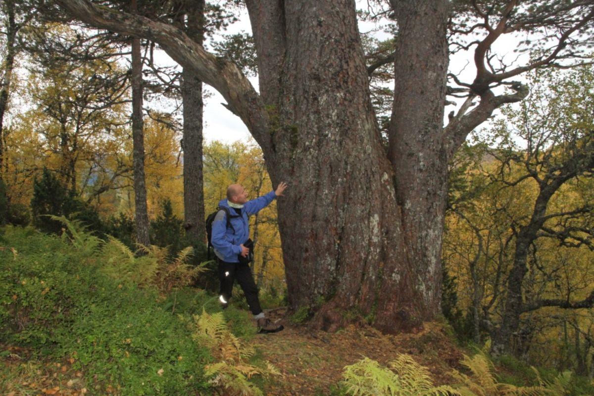 Norges tjukkeste bartre - omkrets: 5,98 meter.