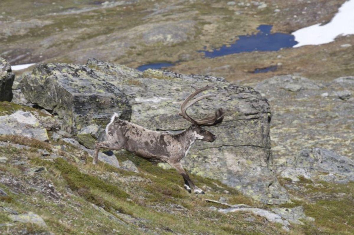 Rein i Hallingskarvet Nasjonalpark