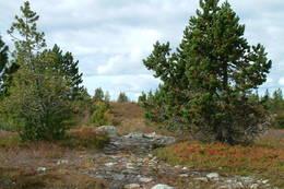 Løiten ungdomsforening plantet buskfuru på Svaen og Nordhue i et forsøk på
