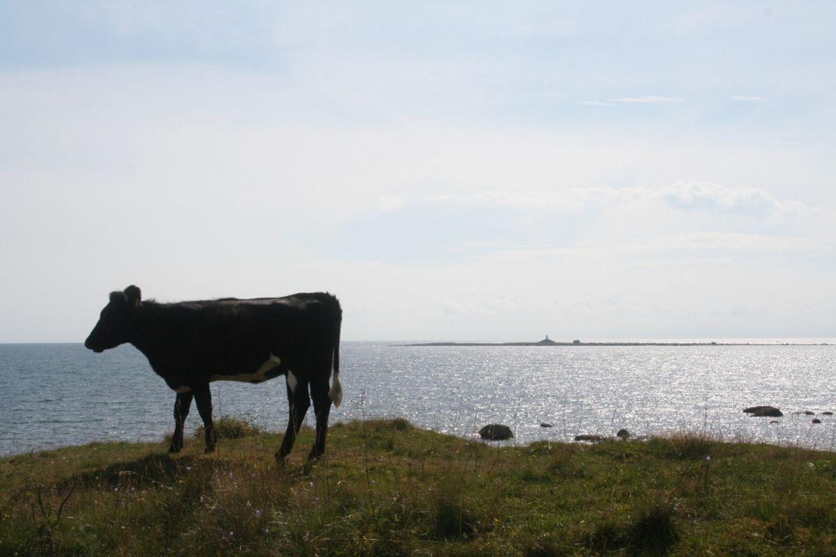 Du kan møte på kuer både ved Haugestrand og Jøllestø