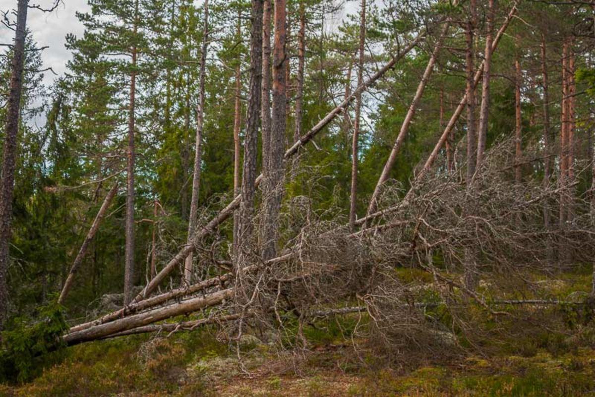 Nedblåst skog