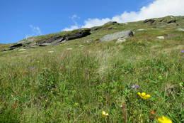 Finnebotneggi består av kalkrik fylitt, og blomsterprakte er overveldende selv i 1400 meters høyde - Foto: Frede Thorsheim