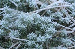 Rimmet ligger på mange planter - Foto: Ukjent