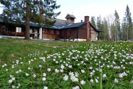 Både våren og hvitveisen er nå i god gjenge ved Nordmarkskapellet. -  Foto: Nordmarkskapellet