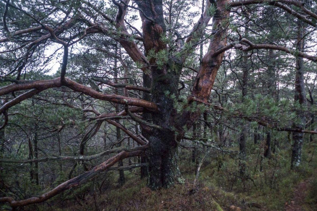 Mange fine klatretrær