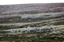 Mye vilt å finne i disse fjellene, dette er reinsdyr - Foto: