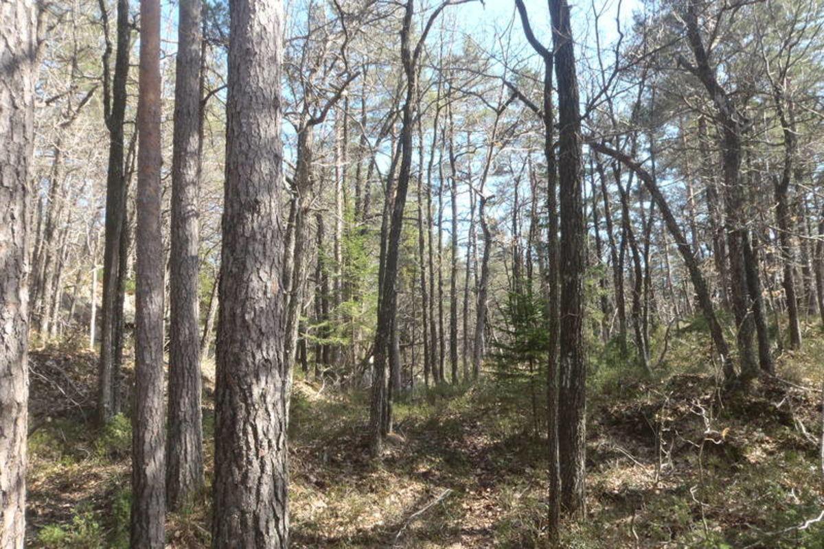 Stien til Falkodden går i fint skogsterreng, og ekstra flott er det i den høyreiste eikeskogen.