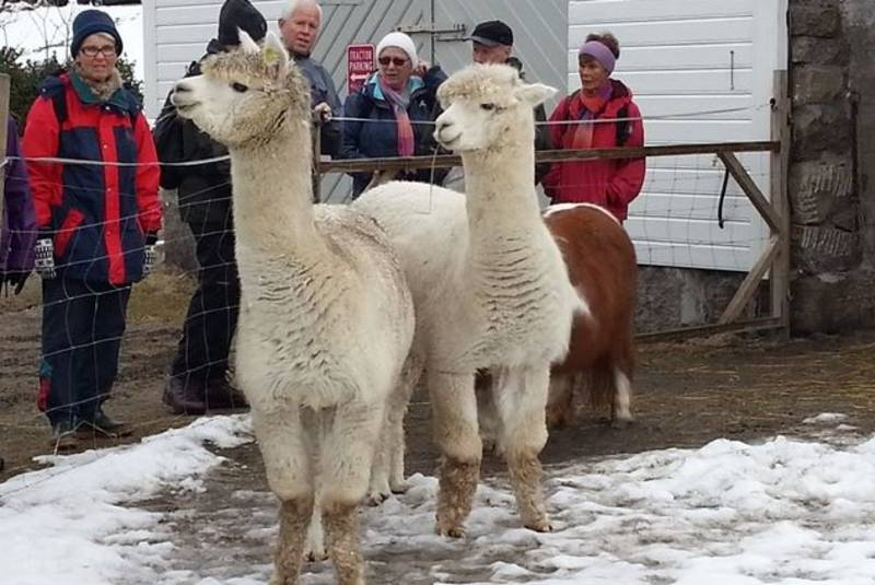 Lama på beite