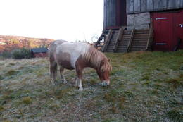 Hesten Tambo utenfor Mjåvasshytta, høstferien 2010  - Foto: Grete Kleveland