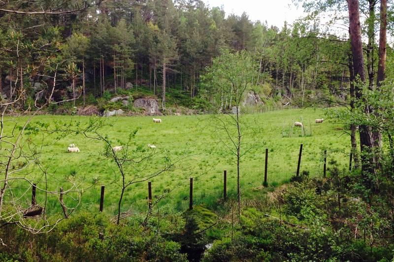 Går du turen om sommeren, må du følge Tursti etterhvert pga info om beitende sauer