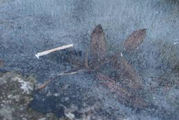 Fastfrosset blad - Foto: Ukjent