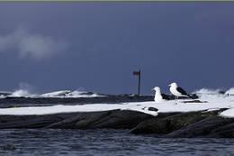 Måse i Sundakjeften -  Foto: Anders Hermstad
