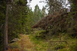 Skogsveien ved Svarttjernet - Foto: Øystein Berntsen