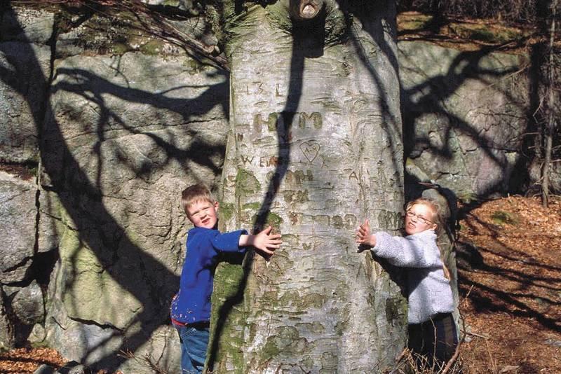 Solide dimensjoner over dette treet som står ved vegen ned mot Maurholen stasjon.
