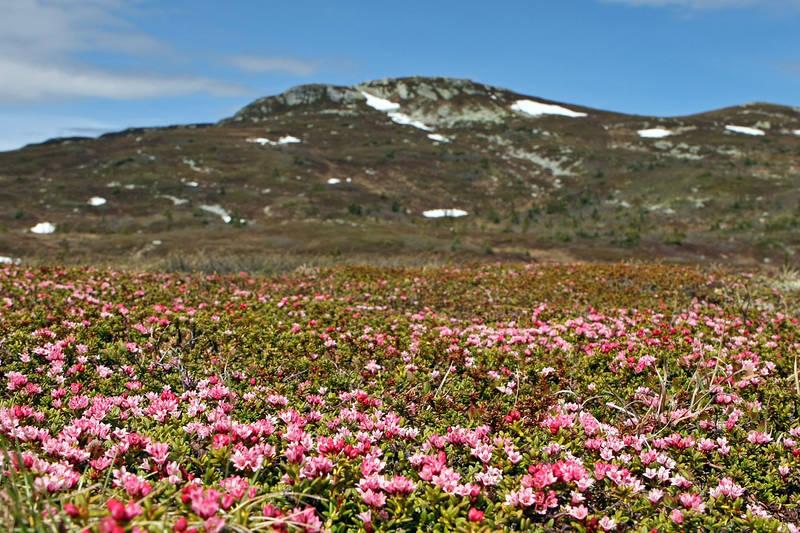 Blefjell er dekorert rosa av Greplyng i mai/juni.