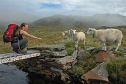 Kjekt å møte beitedyr i fjellet! - Foto: Torgeir Matre