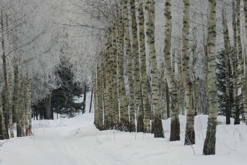 Inn i trollbjørkeskogen der trærne står på geledd.