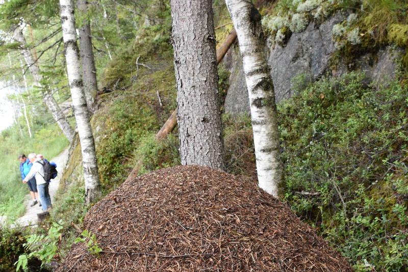 Blåmerket rute så maurene finner fram