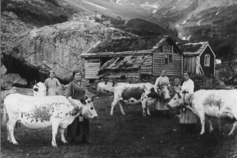 Budeier og kyr ved Ossete.