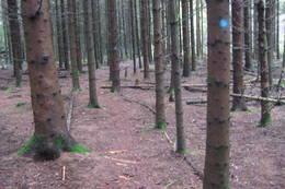 I Granskogenpå Stokkemyr. - Foto: Floke Bredland