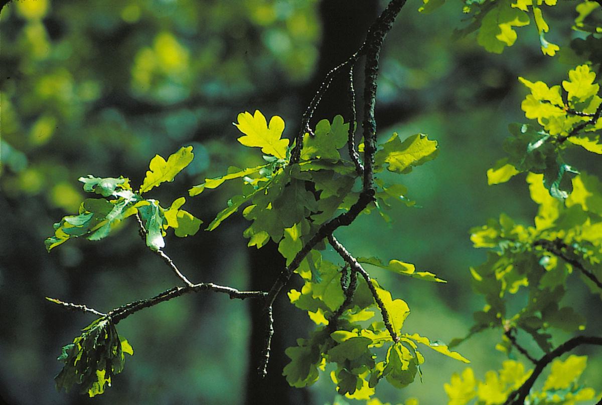 Ta en avstikker bort i den flotte eikeskogen.