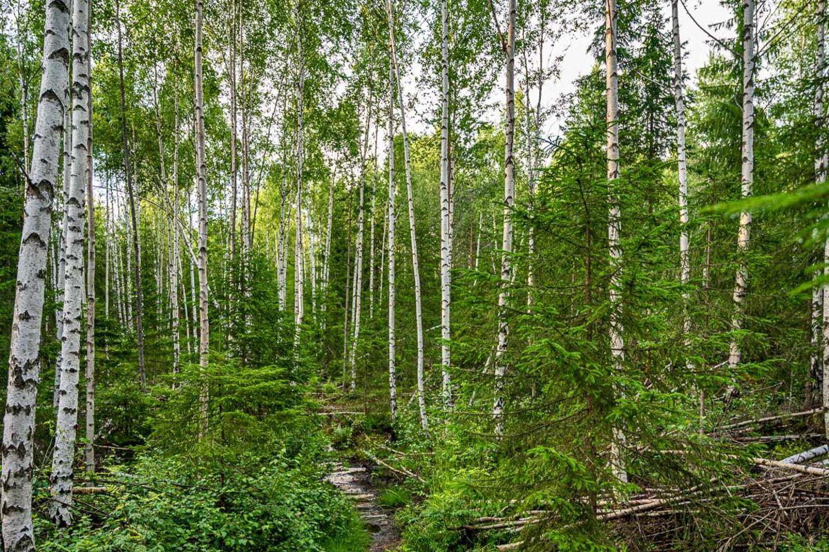 Stien går gjennom en fin bjørkeskog
