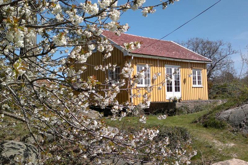 Flere frukttrær ved hytta på Tømmerstø.
