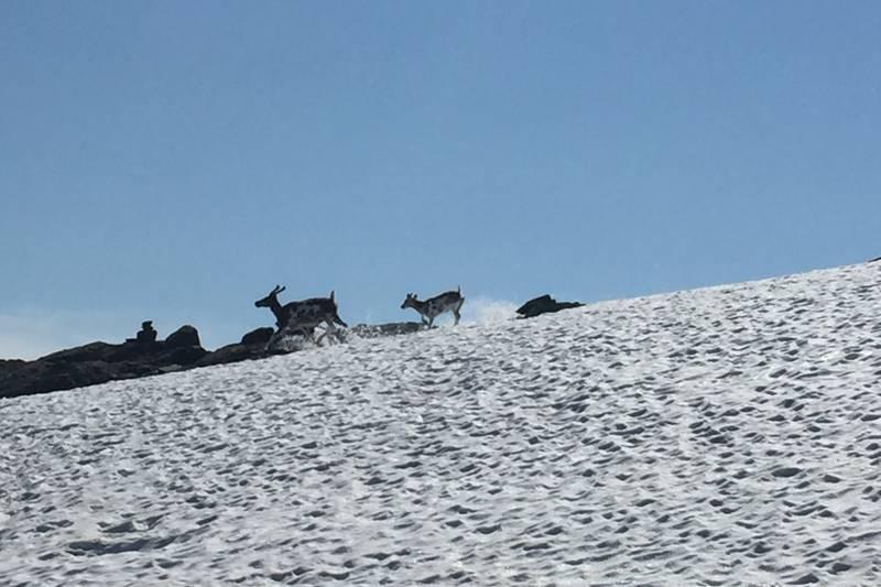Reinsdyr i Skarvheimen