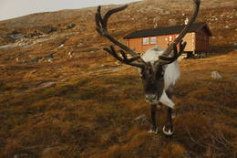 Ei hytte med eget husdyr  - Foto: tma-17