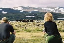 Moskus på Dovrefjell -  Foto: Carl S. Bjurstedt