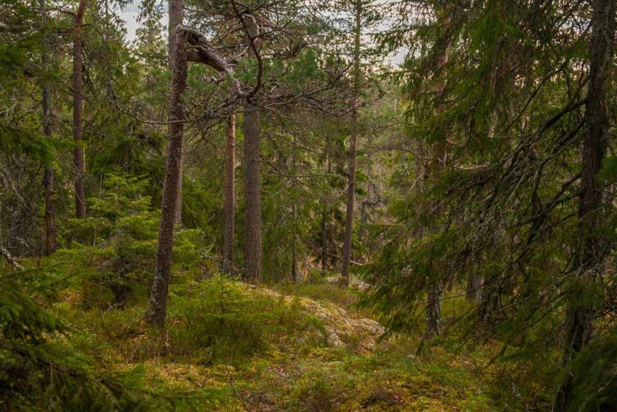 Flott skogsterreng å gå i