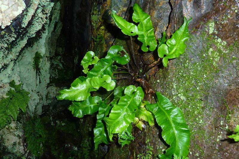 Bregna Hjortetunge Asplenium scolopendrium som er heller sjeldan