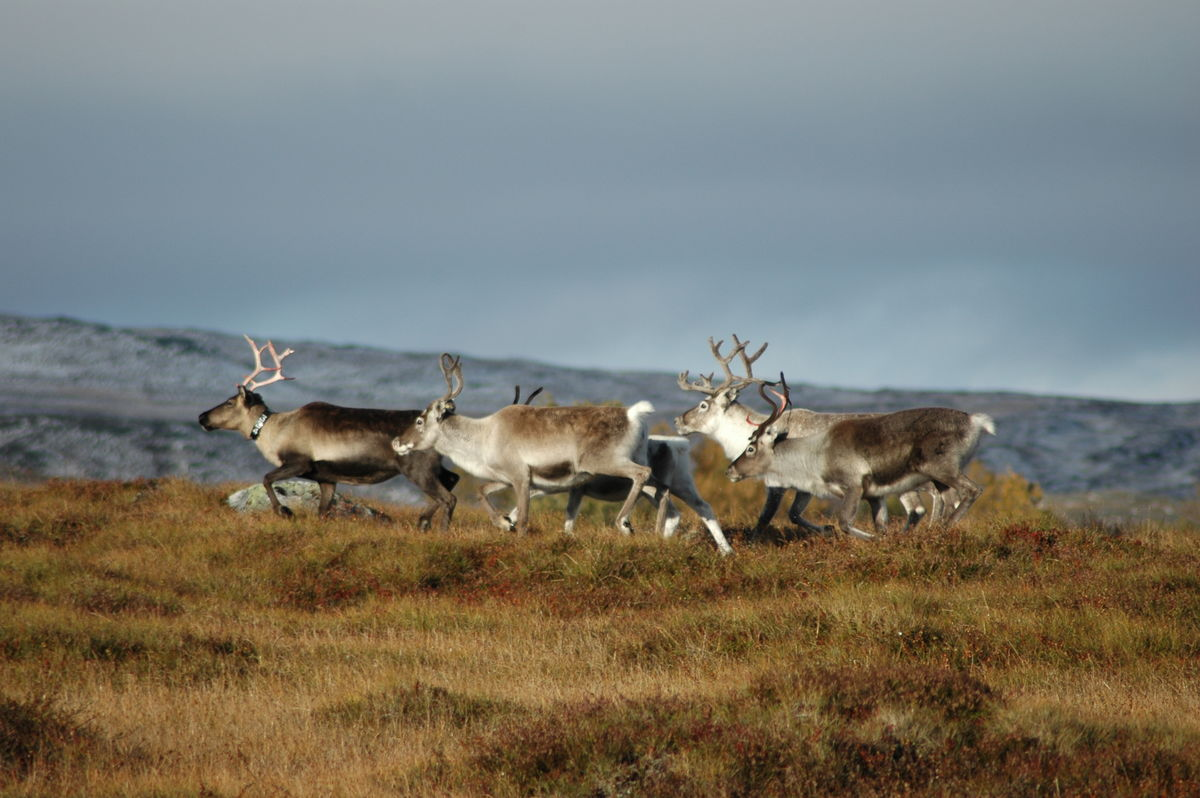 Møte med reinsdyr er et vanlig innslag på fotturene i Sylan. Har du med hund, hold den derfor i band.