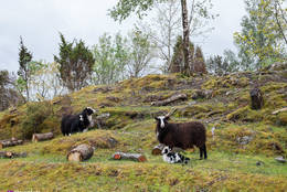 Villsauene har fått lam! - Foto: Simen Soltvedt